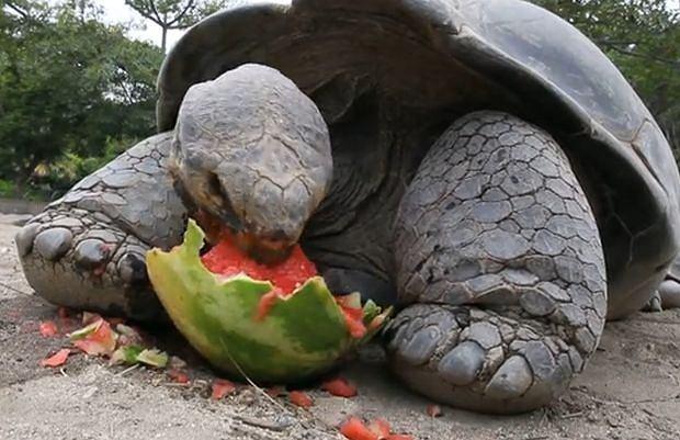Z Wysp Galapagos skradziono ponad 100 ogromnych żółwi. Wszystkie naraz. Jeden waży około 200 kg