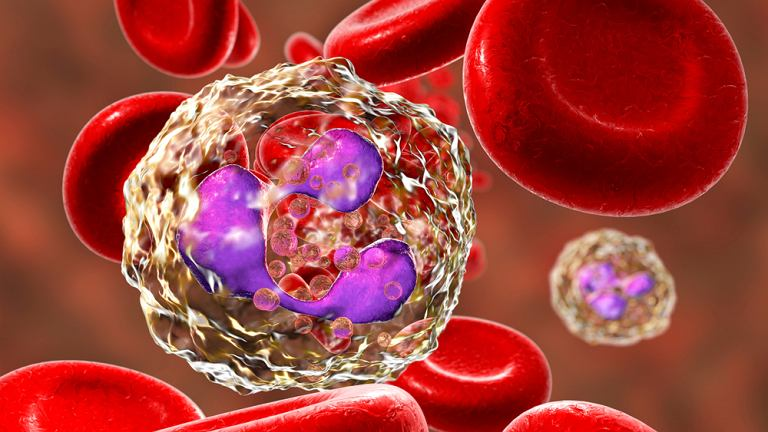Fagocyty, nazywane też komórkami żernymi, to tak naprawdę grupa komórek - makrofagi, neutrofile, monocyty - które chronią organizm przed rozwojem infekcji.