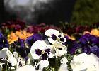 Sad�cie bratki i stokrotki, relacja z gie�dy kwiatowej