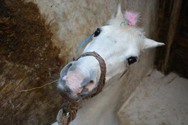 Kucyk, prezent na komunię, nie spodobał się dziewczynce. Rodzina oddała konia do rzeźni