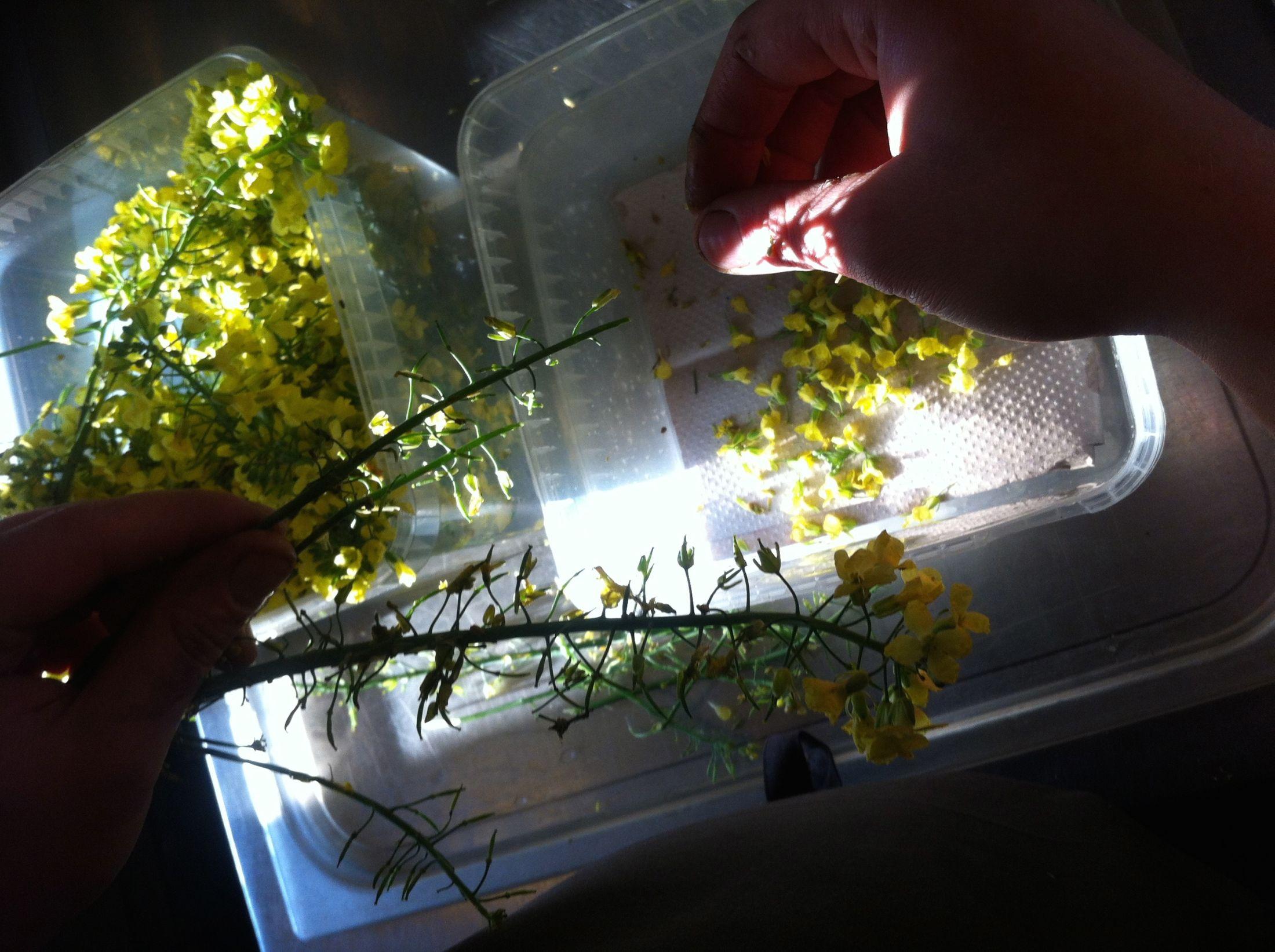 Jadalne kwiaty w kuchni Nomy (fot. Maria Przybyszewska)