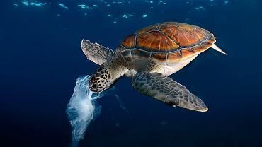 Teneryfa, żółw zielony usiłuje zjeść plastikową torebkę, pomylił ją z meduzą.