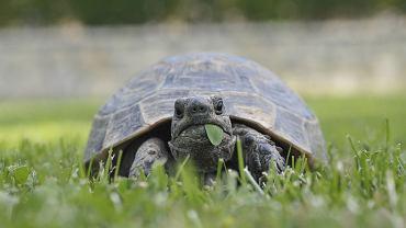 Żółw to przyjaciel na lata. W Polsce w środowisku naturalnym możemy spotkać (chronionego) żółwia błotnego. W domu najczęściej trzymamy żółwie stepowe i żółwie czerwonolice. Kupując tego gada pamiętajmy, aby sprawdzić dokumenty jego pochodzenia!