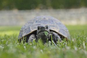 Żółw domowy - rasy i ceny