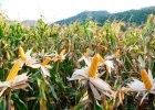 Szpiedzy buszujący w zbożu GMO