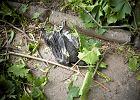 Martwe pisklę, które wypadło z gniazda znajdującego się na ściętym drzewie