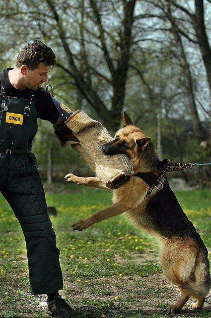 Niemiecka policja wysy�a owczarki niemieckie na emerytur�