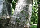M�ode drzewa przy ogrodzeniu i leczenie kasztanowc�w
