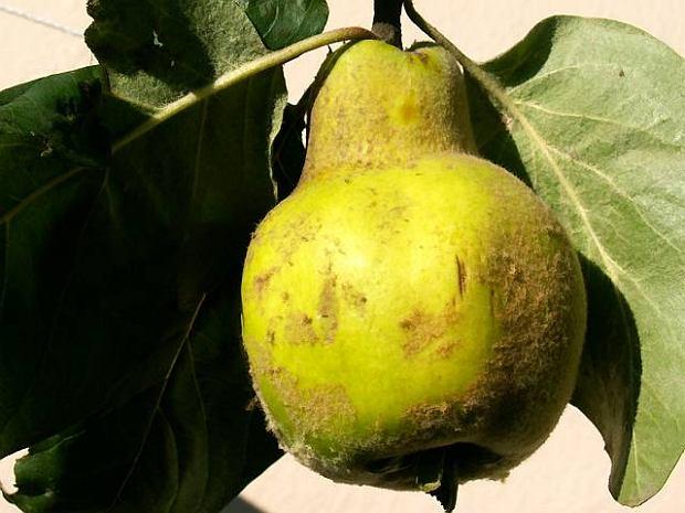 Podróże kulinarne na Kretę. Pigwa - owoc Afrodyty