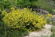 �arnowiec miotlasty