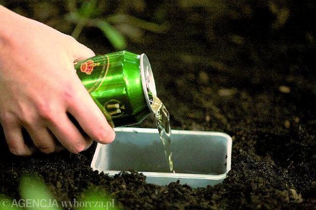 W ziemi� wkopujemy g��boki pojemnik, do kt�rego wlewamy piwo. Jego zapach zwabi �limaki w pu�apk�