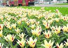 Ca�a Warszawa w krokusach, �onkilach i tulipanach