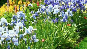 Kosaćce bródkowe rozrastają się w szerokie kępy. Warto sadzić obok siebie odmiany wcześniejsze i późniejsze. Wówczas irysowa rabata kwitnie długo.