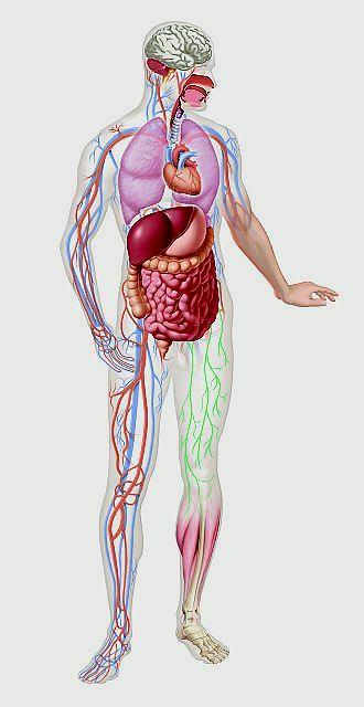 Narz�dy wewn�trzne cz�owieka. HIV, AIDS