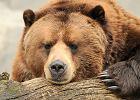niedzwied�, grizzly, alaska