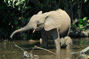 Nowy gatunek słonia - to już pewne