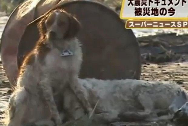 Japonia: Pies ratuje psa, tsunami, pies