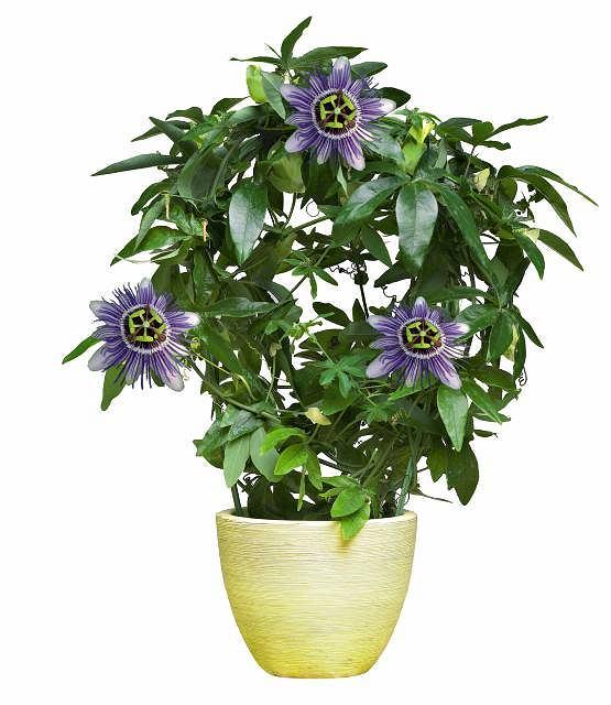 Passiflora, czyli m�czennica - przytwierdza si� do podp�r za pomoc� w�s�w czepnych. Dorasta do 2 m (warto j� co roku przyci��, wtedy p�dy b�d� mocniejsze). Opr�cz pi�knych kwiat�w ma tak�e smaczne owoce.