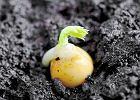 Nasiona groszku kie�kuj� ju� w temperaturze -2 st. C. Przys�owie m�wi: Na �wi�tego Marka (25 IV) groch wyrasta z ziarnka