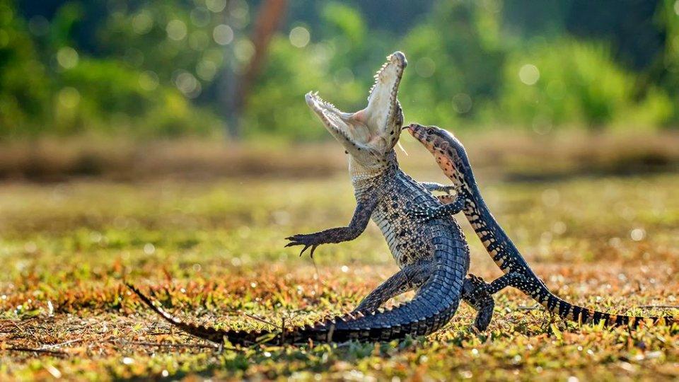 Krokodyl kontra jaszczurka - Sony World Photography Awards 2016 - najciekawsze zg�oszenia