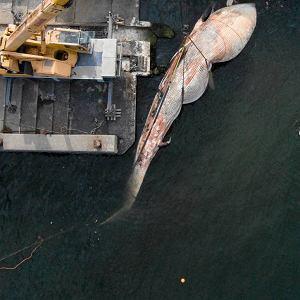 Szkielet wieloryba b�dzie wielk� atrakcj� turystyczn�