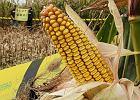 Czy �ywno�� GMO zaleje polski rynek? Tak, je�li pomys� rz�du nie wypali