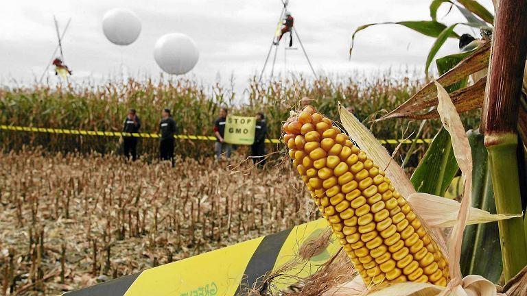 2009 r. Lubonia. Aktywiści Greenpeace zajmują pole, gdzie uprawiana jest genetycznie zmodyfikowana kukurydza.