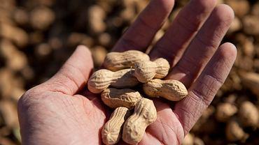 Orzechy arachidowe (znane także jako orzeszki ziemne czy fistaszki) to jedne z najsilniejszych alergenów