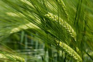 M�ody, zielony j�czmie� - odchudzanie i oczyszczanie organizmu