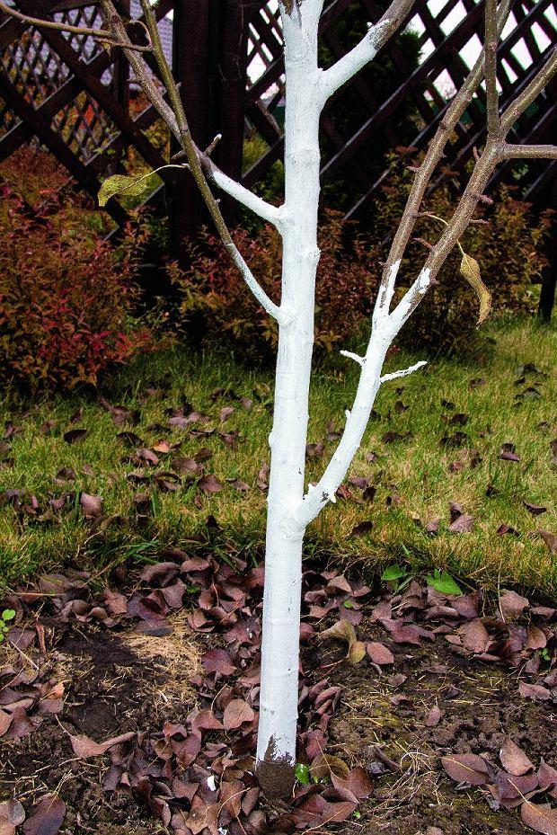 Powtarzamy bielenie pni drzew owocowych rosnących w nasłonecznionych miejscach