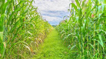 polu kukurydzy