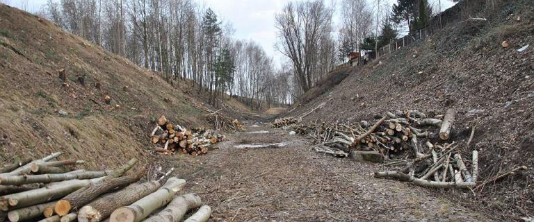 W Katowicach wycinają drzewa na potęgę, bo urzędnicy nie znaleźli ptaków