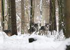 W Polsce zachodniej żyje już ok. 140 wilków