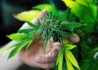 Marihuana przynosi�a ulg�. Wpad�, ale go wypu�cili