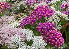 Krwawnik - pospolita roślina z niezwykłą mocą leczniczą [działanie, właściwości, kiedy zbierać]