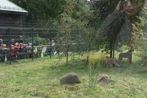 Gdański ogród zoologiczny wzbogacił się o parę gepardów