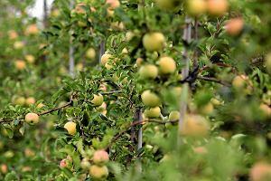 Sadownicy licz� na dobre plony jab�ek. Mo�e by� znacznie lepiej ni� w ostatnich latach