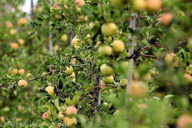 Sadownicy liczą na dobre plony jabłek. Może być znacznie lepiej niż w ostatnich latach