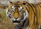 �pieszmy si� kocha� tygrysy