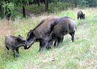 Co miejski �owczy robi z dzikimi zwierz�tami? Uwalnia do natury
