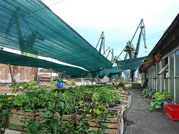 Urban Farm - ogród warzywny założony przez ekipę restauracji. Metamorfoza na dachu nieczynnej hali w Stoczni Gdańskiej
