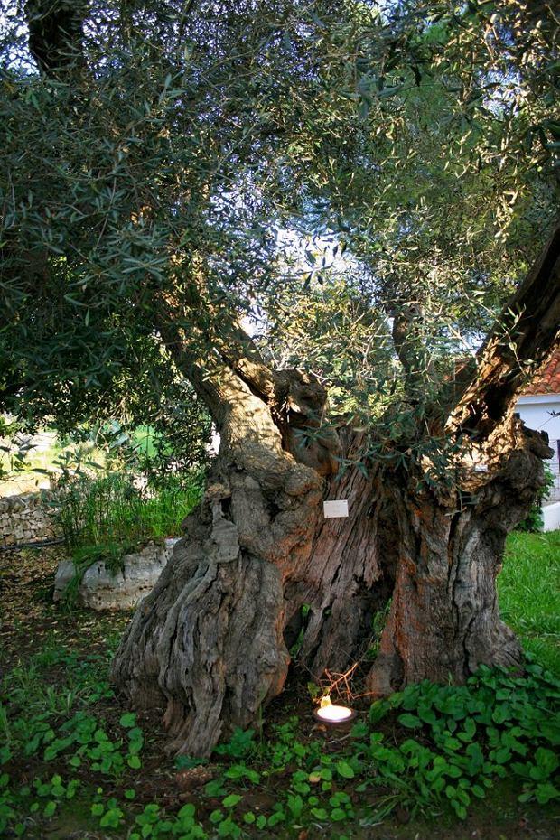 Włochy, Apulia: kilkusetletnie drzewo oliwne