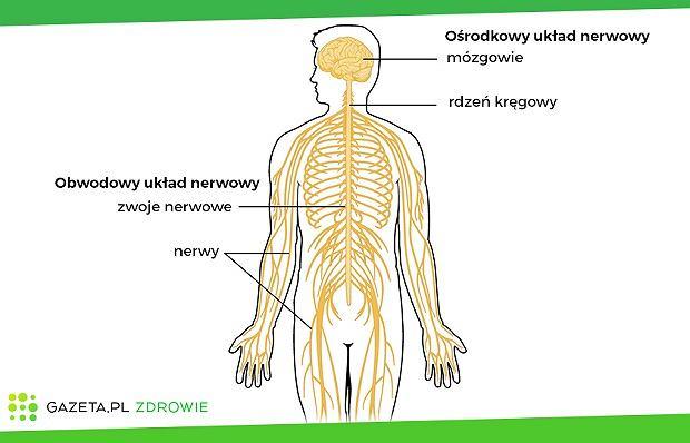Uproszczony schemat układu nerwowego: ośrodkowy układ nerwowy składający się z mózgowia i rdzenia nerwowego oraz obwodowy układ nerwowy, który tworzą nerwy i zwoje nerwowe