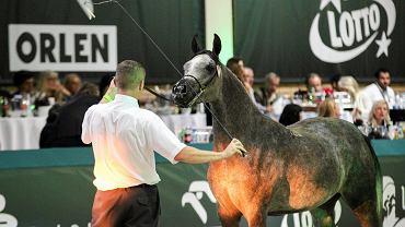 Na aukcji Pride of Poland w Janowie Podlaskim sprzedano 6 koni / zdjęcie ilustracyjne