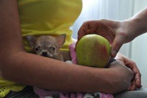 Najmniejszy pies świata? Oto Toudi z Wrocławia [FOTO, WIDEO]