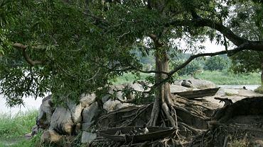 W korzeniach baobabu, Sudan Południowy, Dżuba