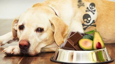Czekolada i awokado mogą wpłynąć negatywnie na zdrowie psa.