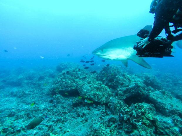 Hawaje - rekin atakuje