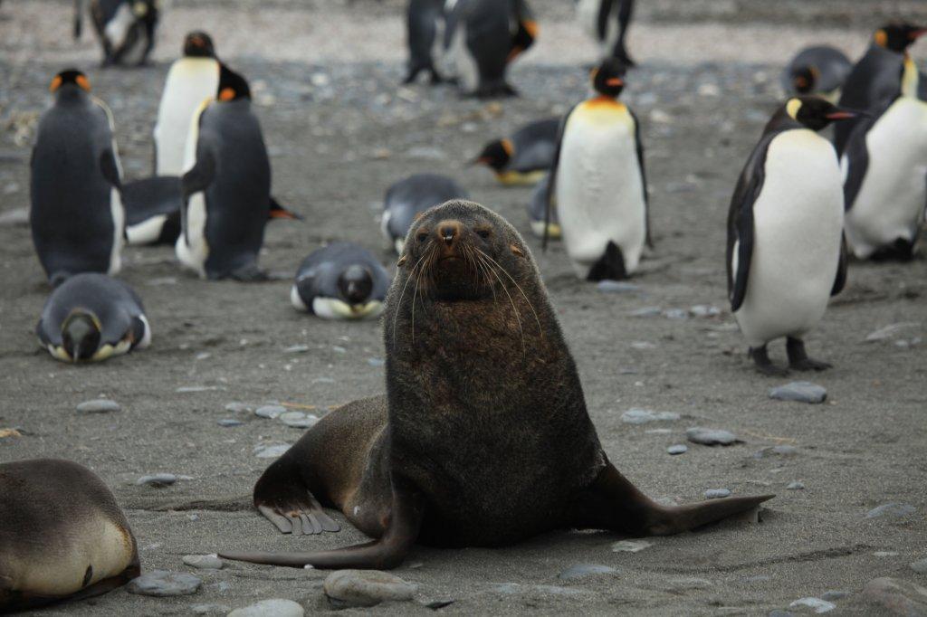 Uchatka antarktyczna wśród pingwinów królewskich