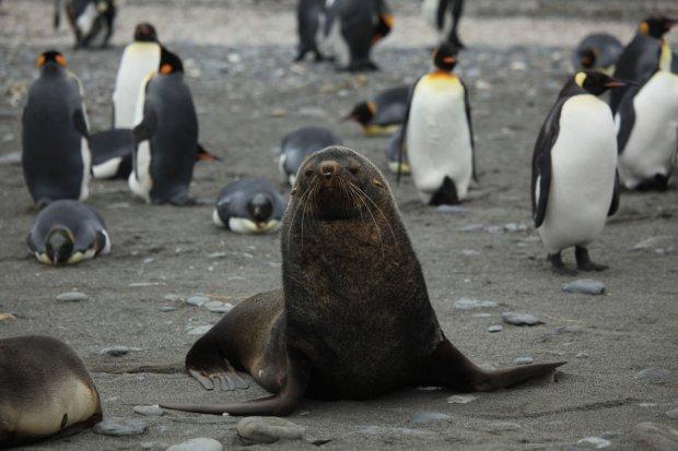Uchatka antarktyczna w�r�d pingwin�w kr�lewskich